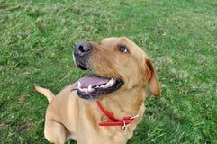 Close up of a Labrador retriever Royalty Free Stock Image