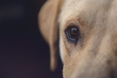Close up of labrador retriever dog eye Stock Photography