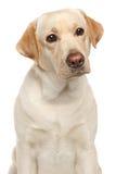 Close-up of Labrador retriever Stock Image