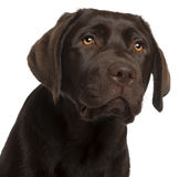 Close-up of Labrador Retriever puppy Royalty Free Stock Photography