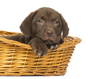 Close-up of a Labrador Retriever Puppy lying down in wicker basket Stock Images