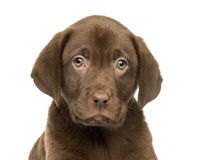 Close-up of a Labrador Retriever Puppy, 2 months old Royalty Free Stock Image