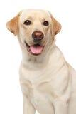 Close-up of a Labrador Stock Image