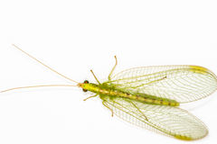 Close up of a Lacewing (Chrysoperla carnea. ) on a plain background, adults eat pollen and honeydew but the larvae are voracious predators stock photos