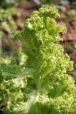 Close up Lactuca sativa. Stock Images