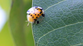 Close up lady bug on green leaves. Royalty Free Stock Photos