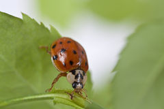 Close up of lady bug on plant. Close up of lady bug on green plant Royalty Free Stock Photos