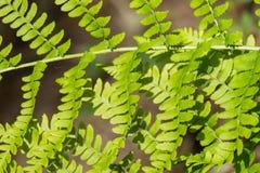 Close up of Lady fern Athyrium filix-femina, California stock image