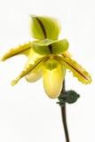 Close up of lady's slipper orchid. (Paphiopedilum Callosum stock photos