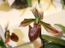 Close up of lady's slipper orchid Royalty Free Stock Images