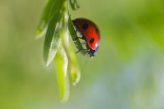 Close up of ladybird. On green leaves stock images