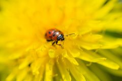 Close up of Ladybug on blooming yellow dandelion flower Taraxac. Um officinale.  Detail of bright dandelion in meadow at springtime Royalty Free Stock Photography