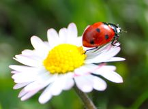 Close-up with ladybug and dasy Stock Photography