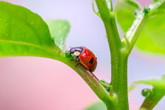 Close-up Ladybug on a green leaf in the grass. Royalty Free Stock Photo