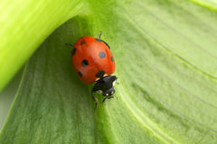 Close up of a ladybug Royalty Free Stock Photography