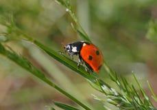 Close up of ladybug Royalty Free Stock Images