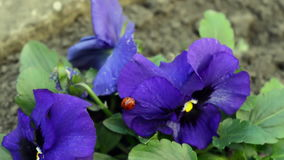 Close-up Ladybug Walks on the Viola Tricolor Flower with Green Foliage stock video