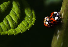 Close up of 2 ladybugs Royalty Free Stock Images