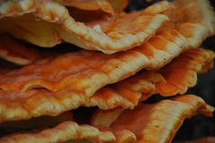 Close up Laetiporus sulphureus. Bracket fungus on aspen tree in Lithuania. Also known as chicken of the woods stock images