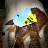 Close up lam. Lamb and blue hat with yellow flowers Stock Photos