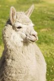 Close up of lama laying on the grass Stock Image