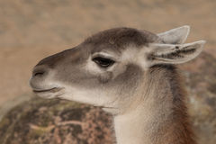 Close-up of a Lama in the spring Royalty Free Stock Images
