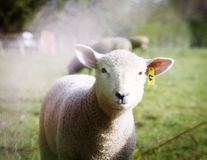 Close up of a lamb in a field looking at the camera. Stock Photos