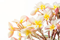 Close up Lan thom flower. Beautiful white flower in thailand Royalty Free Stock Image