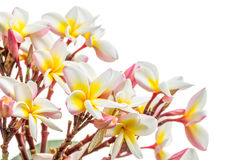 Close up Lan thom flower on white. Beautiful white flower in thailand Royalty Free Stock Image