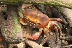 Close up of a landcrab, Seychelles stock image