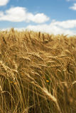 Close up landscape concept wheat field grass sky Royalty Free Stock Images