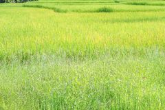 Landscape nature of big rice field in Thailand stock image