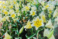 Landscape nature of colorful yellow lily with white edge and dark red pollen flowers field blooming in garden , misty stock photo