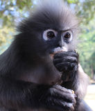 Close up of langur primate monkey eating while keeping an eye out for threats and visitors. These langurs run wild along the shore of Southern Thailand, taking Royalty Free Stock Photography