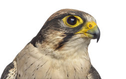 Close-up of a Lanner falcon - Falco biarmicus Royalty Free Stock Photography