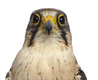 Close-up of a Lanner falcon - Falco biarmicus Stock Image