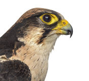 Close-up of a Lanner falcon - Falco biarmicus Royalty Free Stock Images