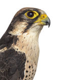 Close-up of a Lanner falcon - Falco biarmicus Stock Photography
