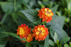 Close up of Lantana camara stock photos and images. Lantana Camara Flower Close Up Royalty Free Stock Image