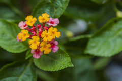 Close up of Lantana camara stock photos and images. Lantana Camara Flower Close Up Stock Photography