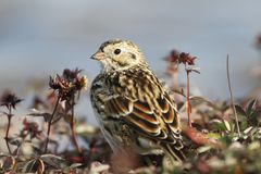 Close-up of a Lapland Longspur on the arctic tundra with plants in the background Stock Photos