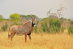 Illusive Roan Antelope standing on the dried yellow African plains in Hwange National Park. Close up of a Large Adult Male Roan Antelope - Hippotragus equinus stock image