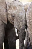 Close up of large african elephant in Tanzania Royalty Free Stock Photography