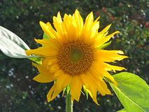 Close up of a large bright yellow sunflower in bright sunlight against a dark green background stock images