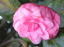 Close up of Large Camellia Japonica - Pink Wood Rose Flower with Green Leaves in Background royalty free stock image
