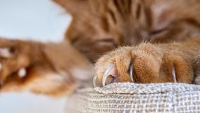 Close up of large claws visible on one of the front paws of a large orange cat sleeping on a chair royalty free stock images