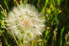 Close Up of a Large Dandelion Head stock photo