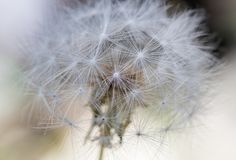 Close up of Large Dandelion Plant. With selective focus technique Royalty Free Stock Photos