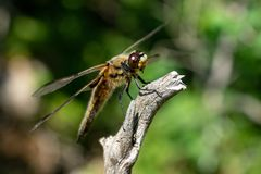 Close up of a large dragonfly. Closeup macro shot of a large brown and yellow dragonfly sitting on a piece of dry wood in sunshine with green background Stock Photography