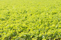 Close up of a large field of green leaves Royalty Free Stock Image